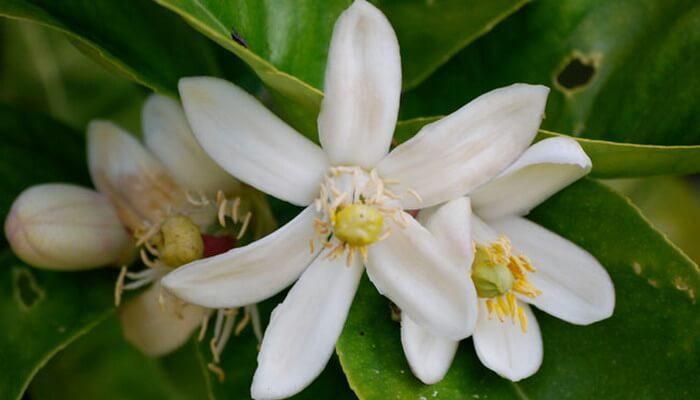растение лимон фото